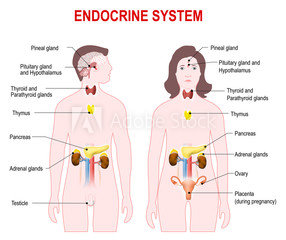 Endocrine-System-Chart